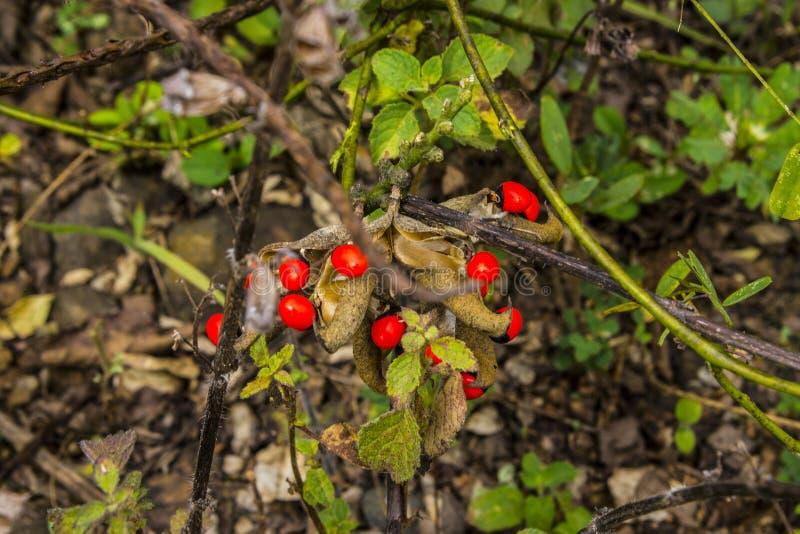Красные крошечные томаты вишни стоковые фото
