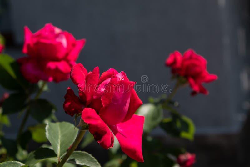 Красные курчавые розы : Изолированный на естественной предпосылке стоковое изображение
