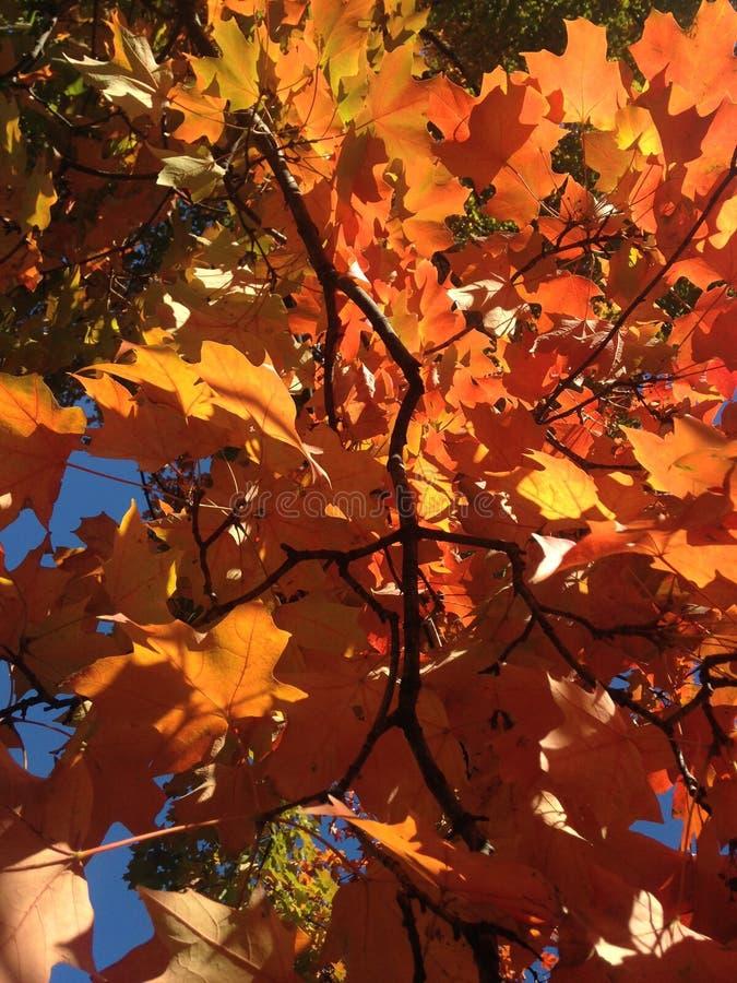 Красные кленовые листы в Central Park, Манхаттане стоковое фото rf