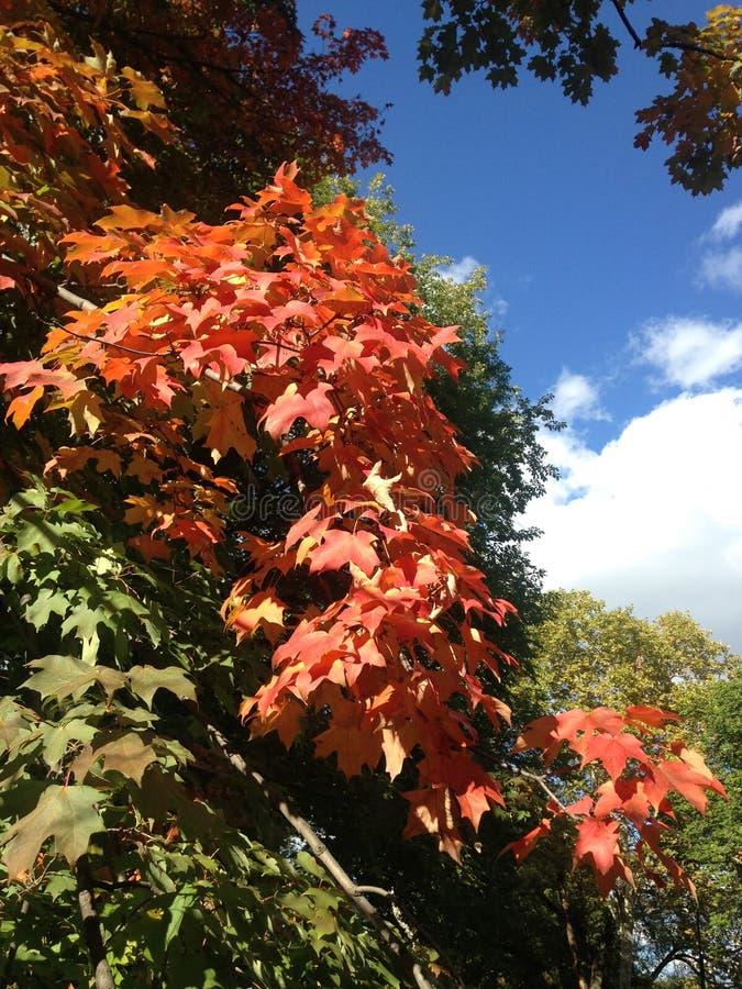 Красные кленовые листы в Central Park, Манхаттане стоковая фотография rf