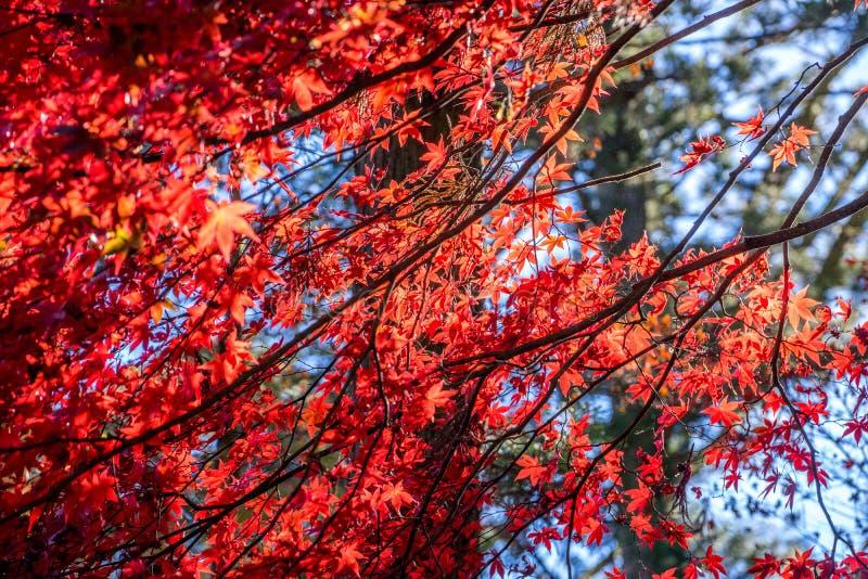 Красные листья осени купая солнечный свет с мягкой предпосылкой большого стоковые изображения