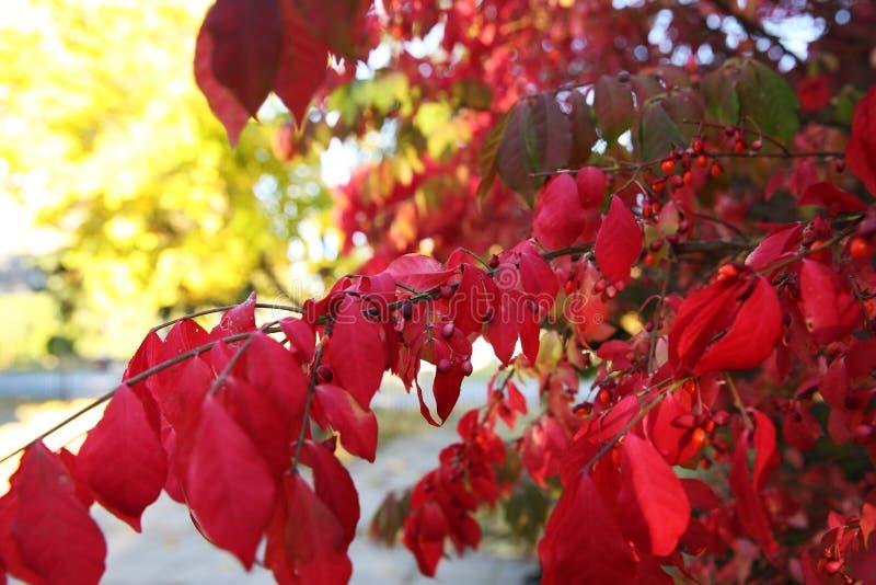 Красные листья осени против голубого неба и желтого клена стоковое фото rf