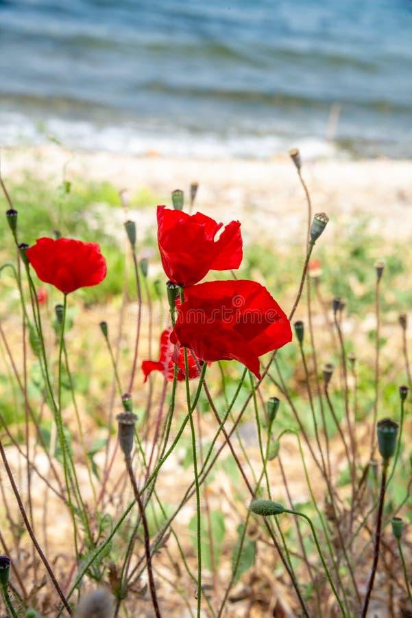 Красные маки и голубое небо и море, Bakcground стоковые фотографии rf