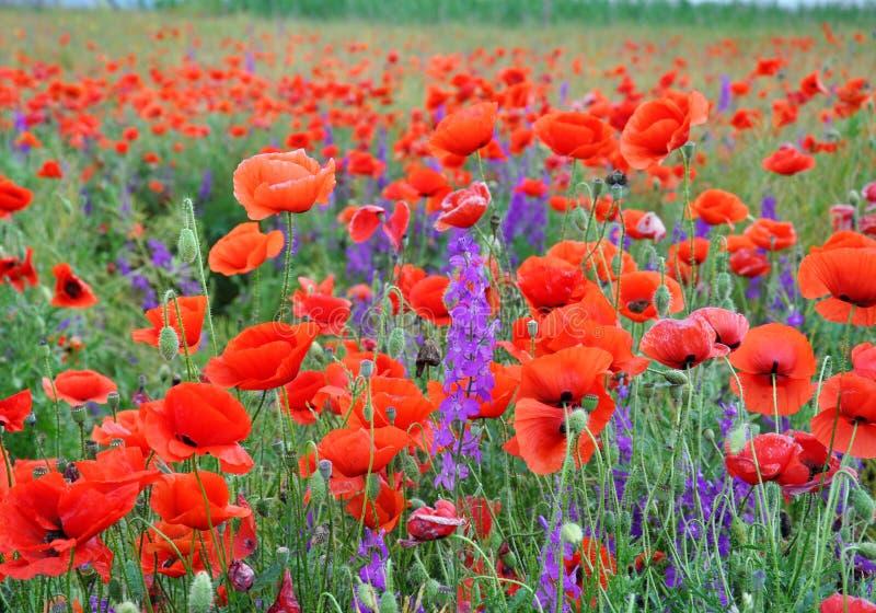 Красные маки на зеленом поле на солнечный день Поле весны маков Красные и пурпурные цветки стоковое фото