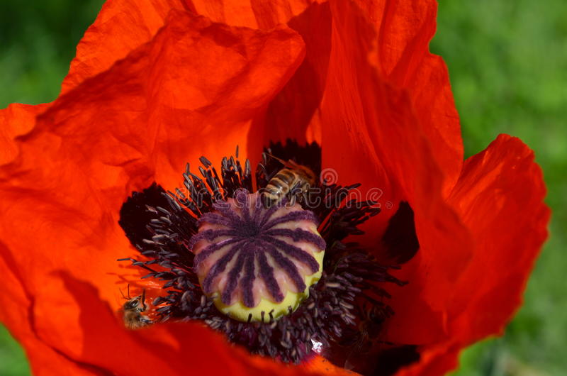 Красные мак и пчелы стоковые изображения