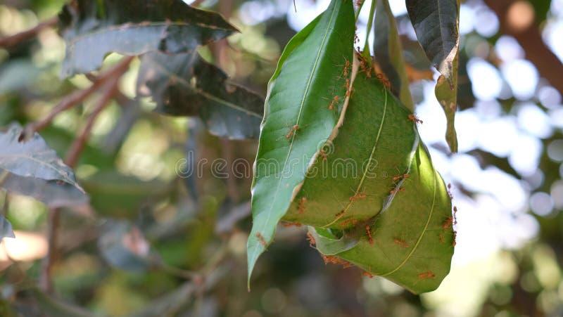 Красные муравьи гнездятся на дереве longan стоковые изображения rf