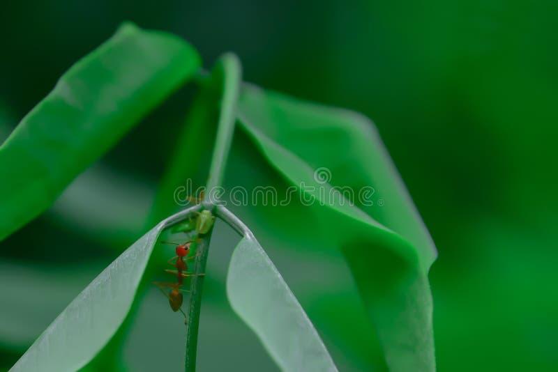 Красные муравьи зацеплянные ветви стоковая фотография rf