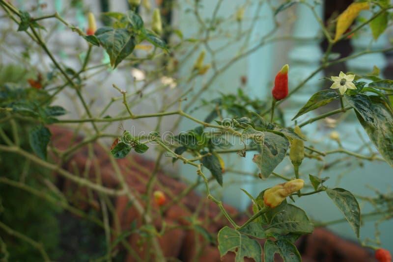 Красные небольшие Chili/перец Кайенны стоковое изображение