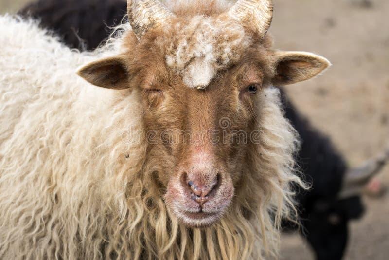 Красные овцы Racka сужали ее правый глаз стоковое фото
