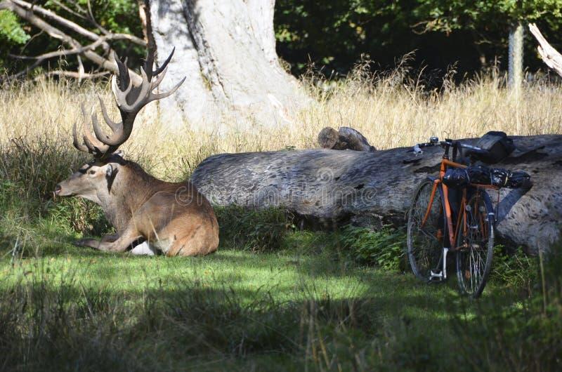 Красные олени и велосипед стоковое фото rf