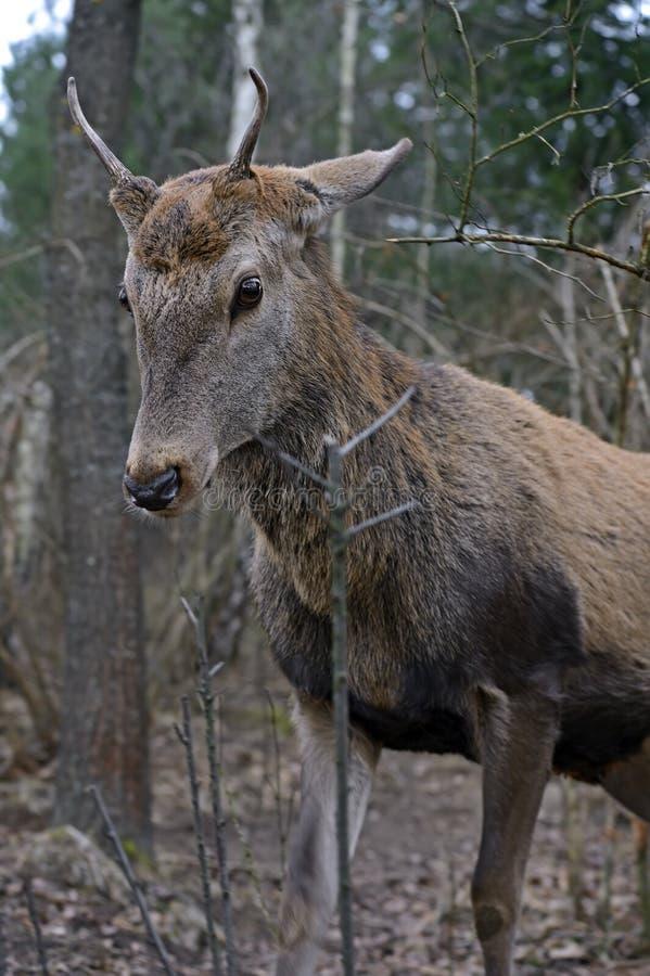 Download Красные олени стоковое фото. изображение насчитывающей природа - 40579360