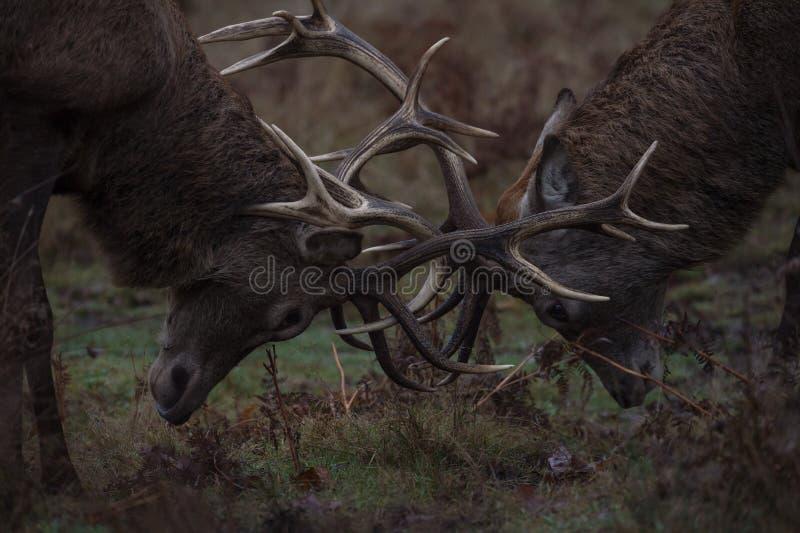 Красные олени стоковое изображение rf