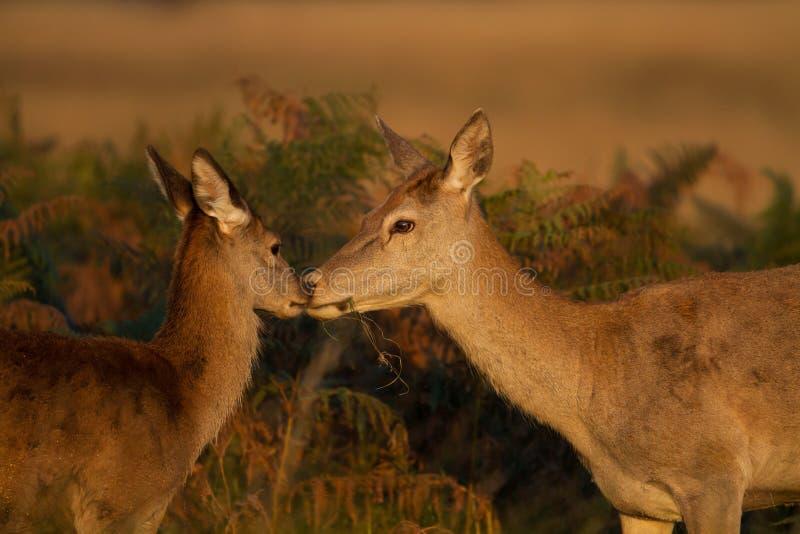 Красные олени (elaphus Cervus) с икрой стоковые фото