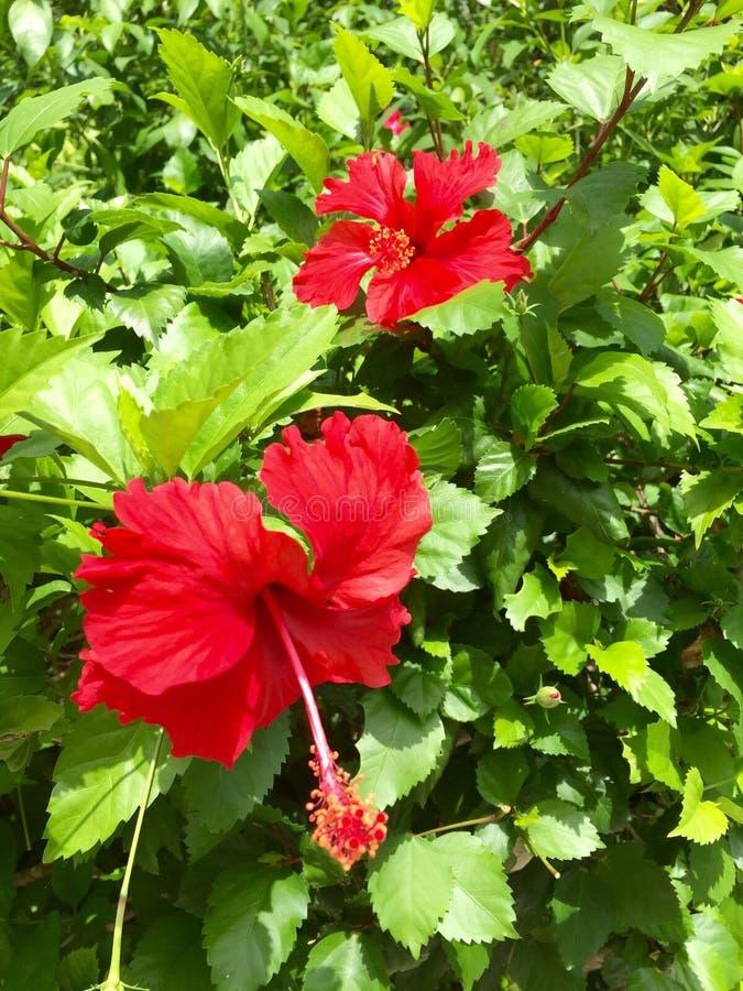 Красные одичалые цветки гибискуса стоковое изображение rf