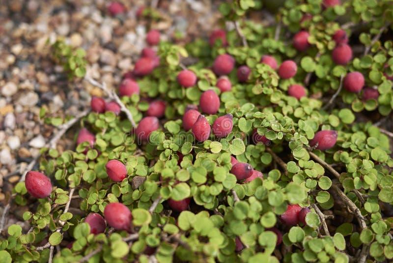 Красные плодоовощ и листья Fuchsia procumbens стоковые изображения