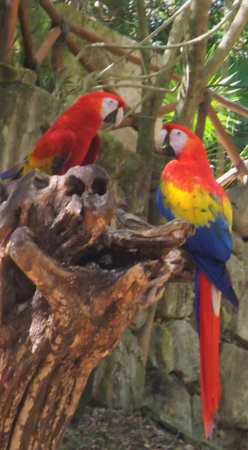 Красные попугаи в Мексике стоковые фото