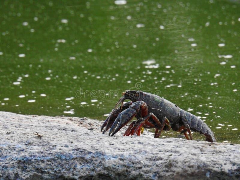 Красные ракы болота стоковые фото