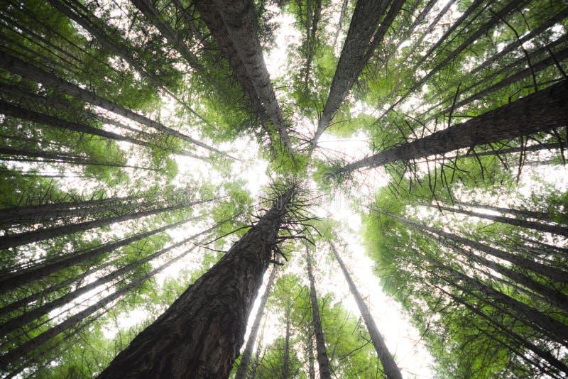 Красные древесины - Новая Зеландия стоковые изображения rf