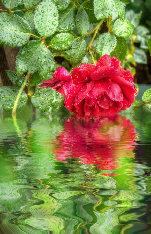 красные розы влажные иллюстрация вектора