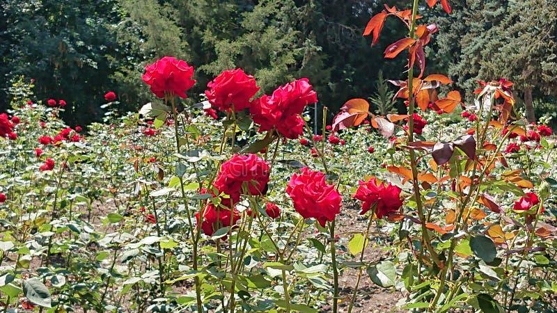 Красные розы в парке стоковое изображение