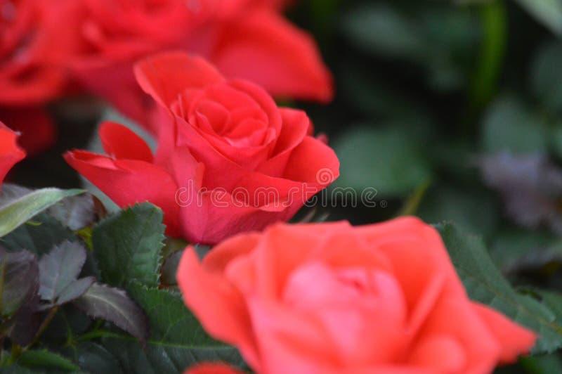 Красные розы в цветке в английском саду стоковые фотографии rf