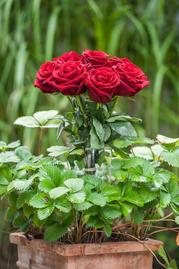 Красные розы в цветочном горшке стоковое фото rf