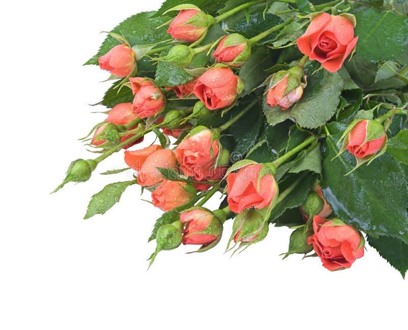 красные розы малые стоковая фотография