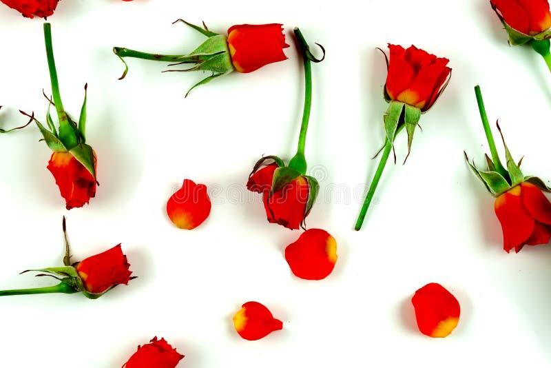 Красные розы на белом фоне стоковые изображения rf