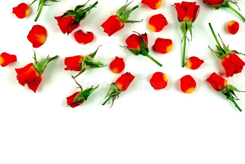 Красные розы на белом фоне стоковое изображение rf