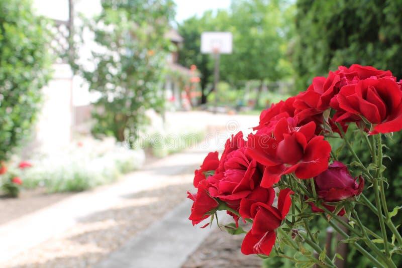 Красные розы на улице стоковое фото