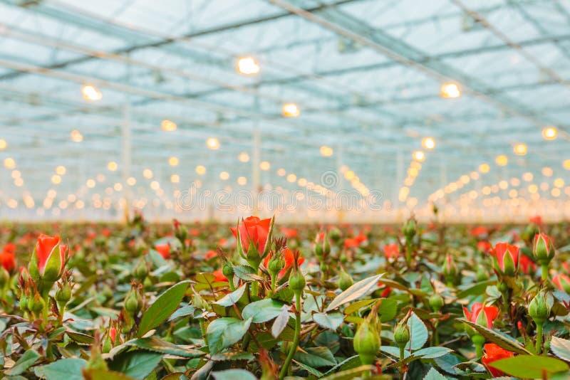 Красные розы растя внутри парника стоковое фото rf