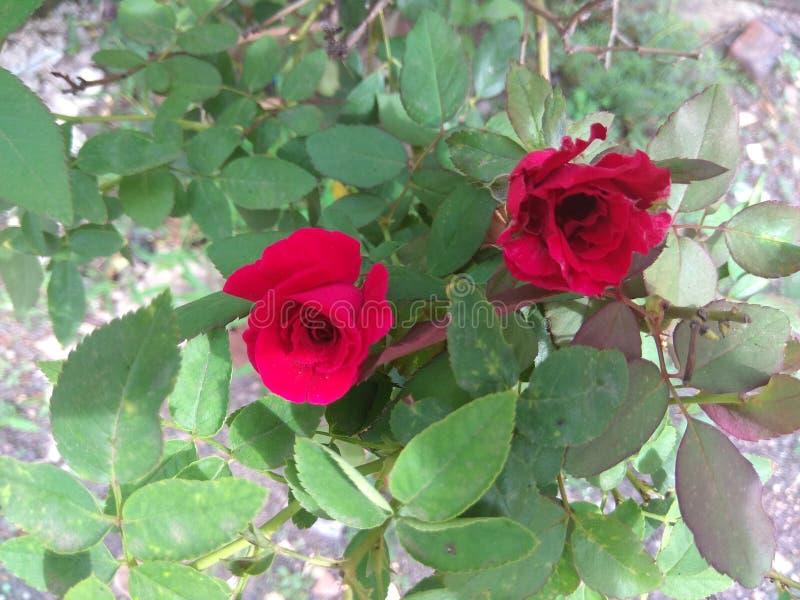 Красные розы с листьями стоковое изображение
