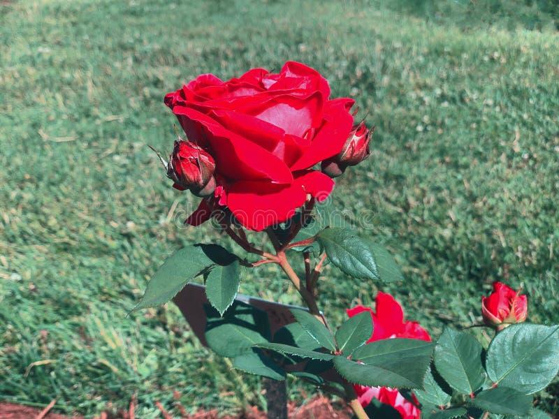 Красные розы цветут в парке Элизабет стоковые фото