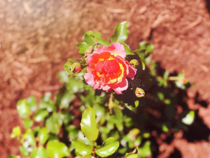 Красные розы цветут в парке Элизабет стоковые изображения rf