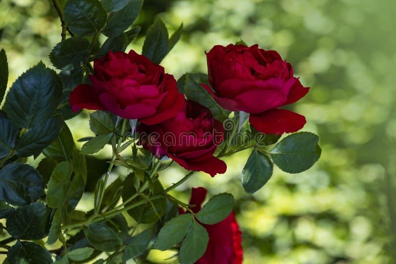 Красные розы цветут крупный план Малая глубина поля, запачканной предпосылки стоковые фотографии rf