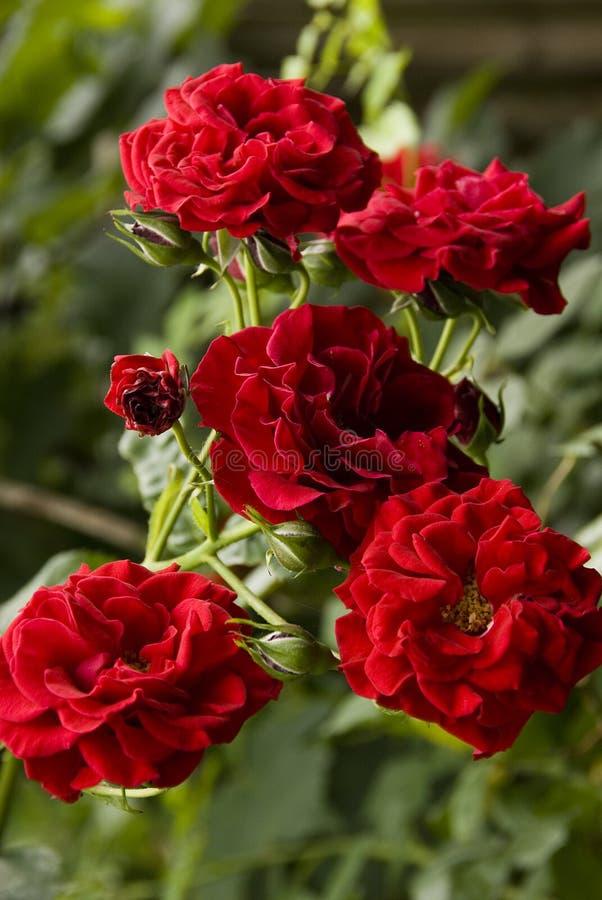 красные розы стоковые фотографии rf