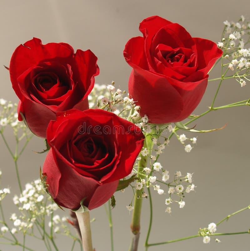 красные розы стоковые фото