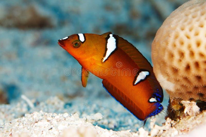 Красные рыбы приближают к кораллу стоковое фото rf