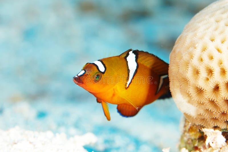 Красные рыбы рифа стоковое изображение