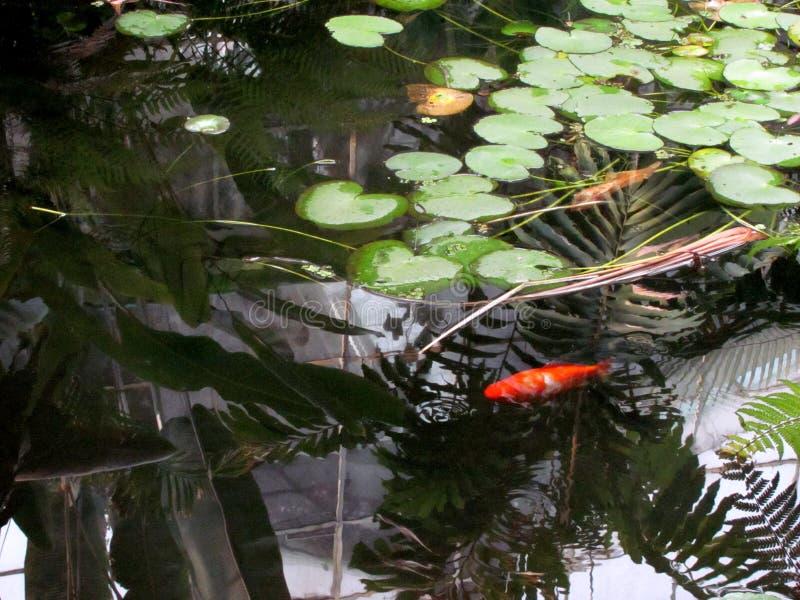 Красные рыбы стоковые изображения rf