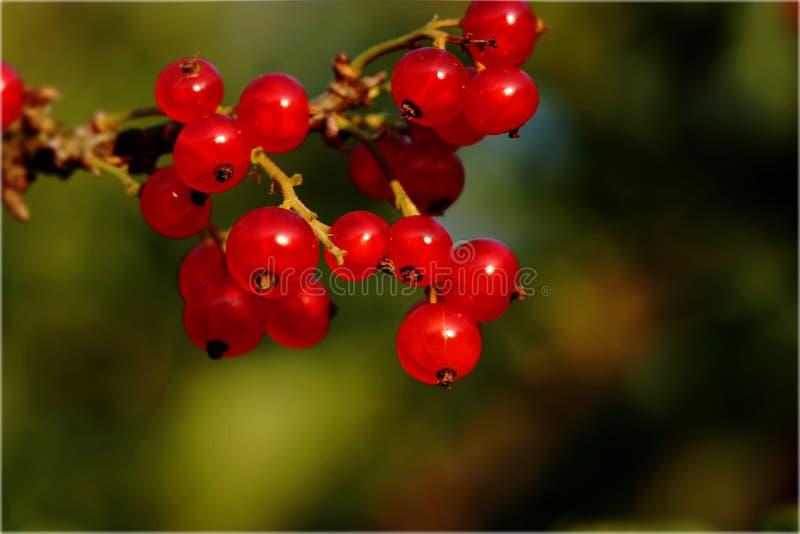 Красные смородины, rubrum смородины, вися на ветви с предпосылкой нерезкости стоковые изображения