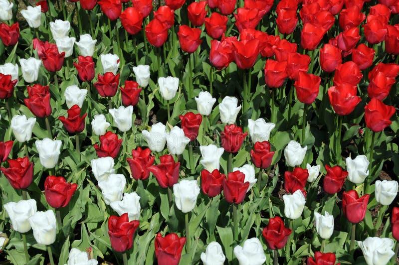 красные тюльпаны белые стоковые фотографии rf