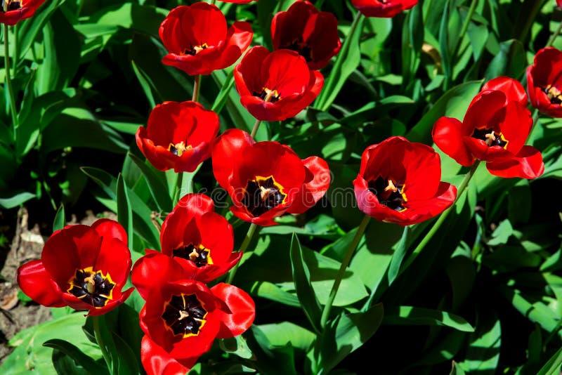 красные тюльпаны во взгляде сверху конца-вверх flowerbed стоковое изображение rf