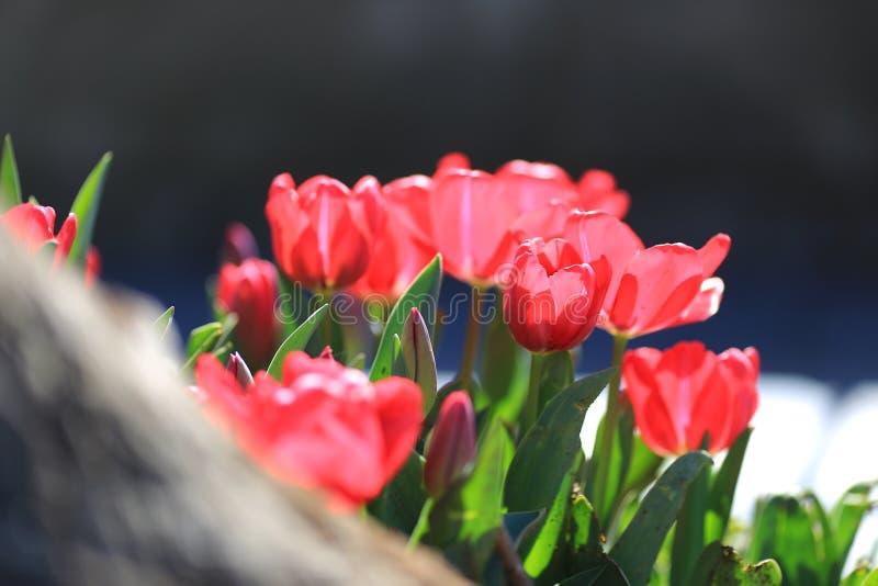 Красные тюльпаны в индюке стоковое фото