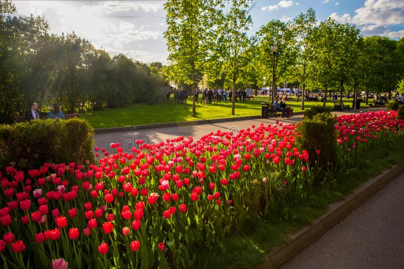 Красные тюльпаны в парке стоковое изображение rf