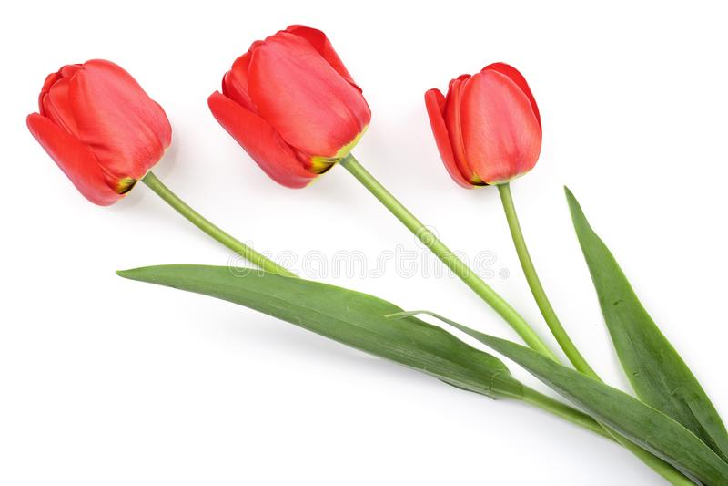 Красные тюльпаны изолированные на белой предпосылке Взгляд сверху Плоская картина положения стоковое фото