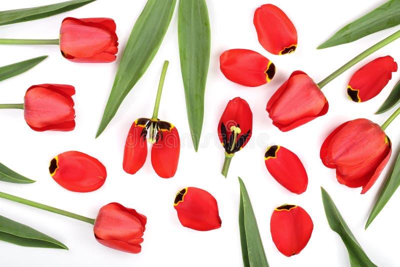 Красные тюльпаны изолированные на белой предпосылке Взгляд сверху Плоская картина положения стоковое изображение rf