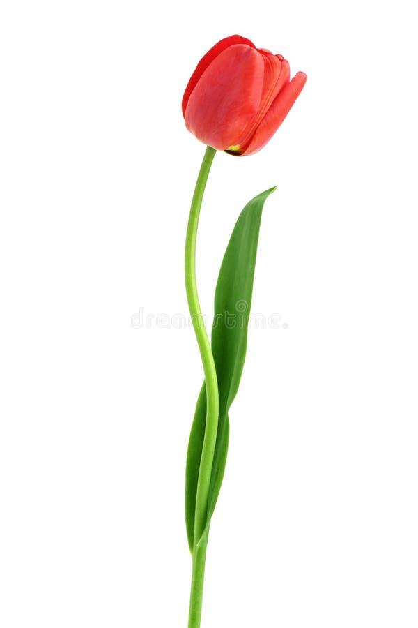 Красные тюльпаны изолированные на белой предпосылке Взгляд сверху Плоская картина положения стоковая фотография