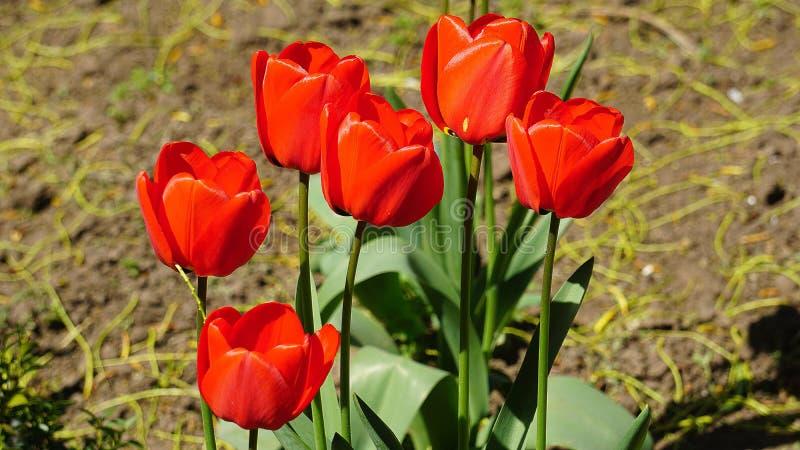 Красные тюльпаны на кровати весной стоковая фотография
