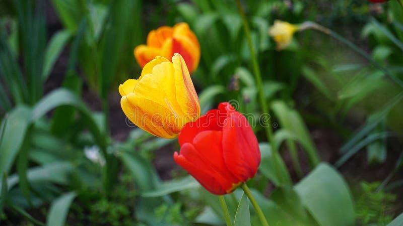 Красные тюльпаны на кровати весной стоковое фото rf